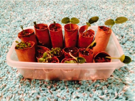 seedlings in toilet paper rolls